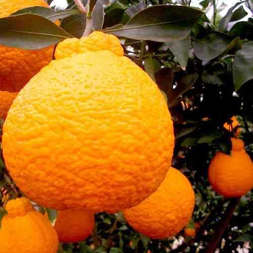 jeruk dekopon ciwidey, jeruk dekopon lembang, jeruk dekopon dalam pot, jeruk dekopon harga, jeruk dekopon dataran rendah, jeruk dekopon tabulampot, jeruk dekopon adalah, jeruk dekopon di dataran rendah, jeruk dekopon, asal jeruk dekopon, bibit jeruk dekopon, budidaya jeruk dekopon, benih jeruk dekopon, ciri jeruk dekopon, foto jeruk dekopon, jeruk dekopon jepang,