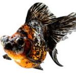 Bagaimana Cara Budidaya / Memelihara Ikan Mas Koki Ala Mutia?